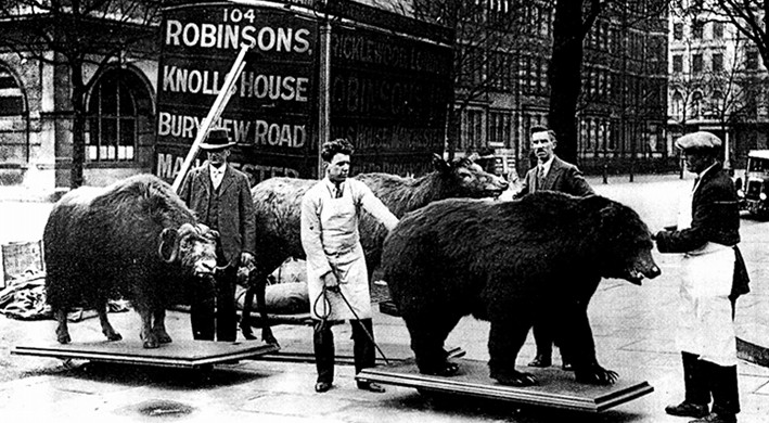 Photo of men moving a bear and a water buffalo