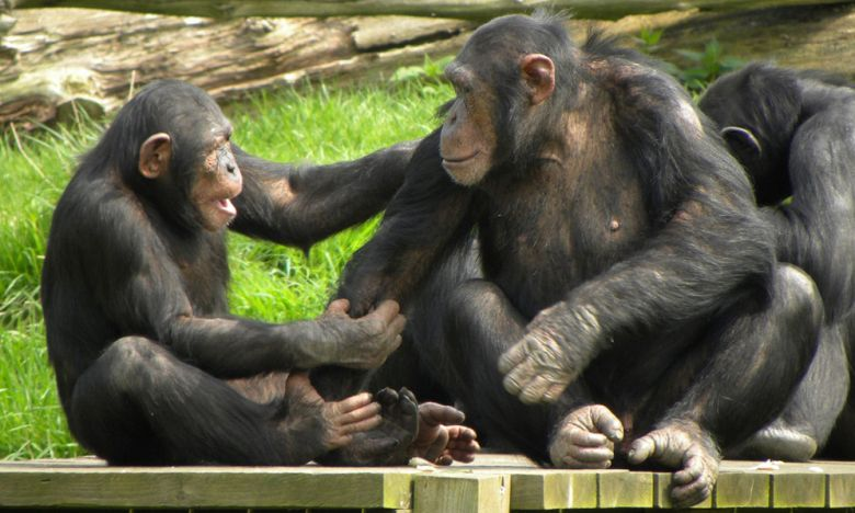 Chimpanzees and subculture